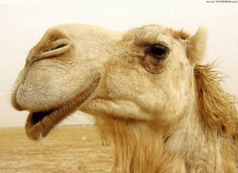 [Résolu]Défi coucou... ;-) Timberline Lodge, Orégon, USA, The Shining - Page 2 Camel_10