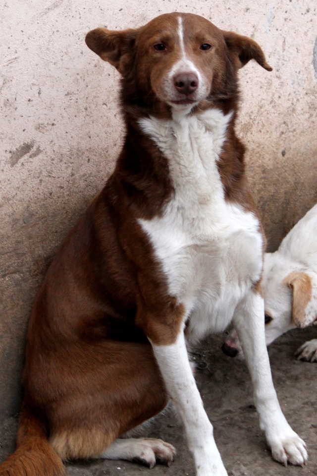 ZIVKO, M-X, né 2010, env. 13 kg (SERBIE/HOARDEUSE) Pris en charge Asso BorderlineCollie 16326610