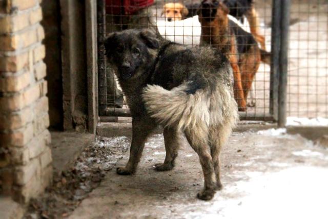 PAOLA - PAOLA F-X-Sharpla, taille grande, née 2013 (SERBIE refuge Bella) PRETE A VOYAGER 16650912