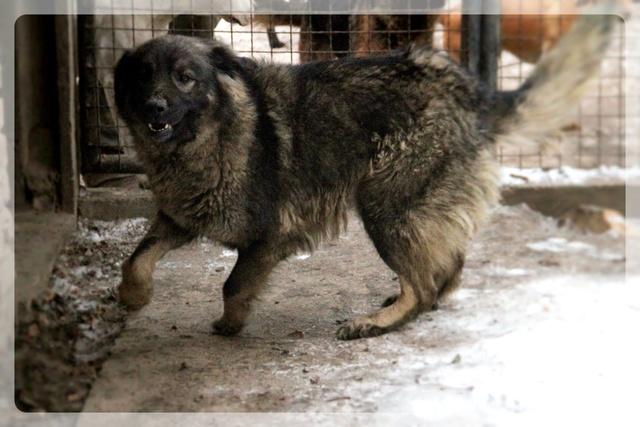PAOLA - PAOLA F-X-Sharpla, taille grande, née 2013 (SERBIE refuge Bella) PRETE A VOYAGER 16710211