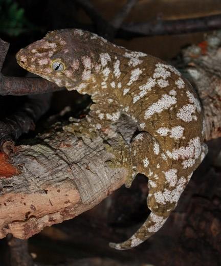 Rhacodactylus géant Rhacod10