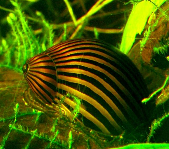 invasion d'escargots... Neriti10