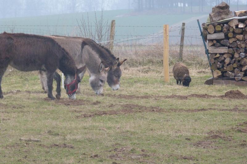 ERNESTINE - ONC âne née en 2011 - adoptée en février 2017 par Cécile P1030611