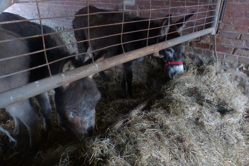 ERNESTINE - ONC âne née en 2011 - adoptée en février 2017 par Cécile P1030710