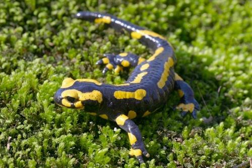 Salamandre sur fond vert _salm010
