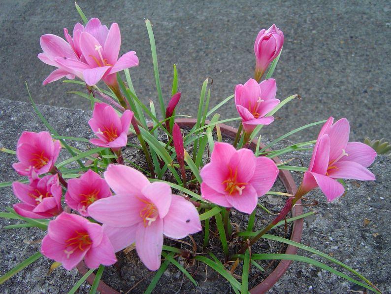 [Zephyranthes grandiflora ou robustus] belle floraison... Bulbeu11