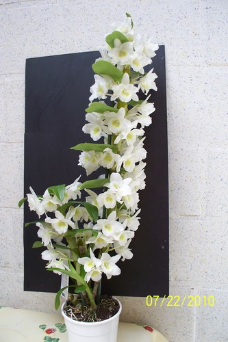 Phalaenopsis Dendro10