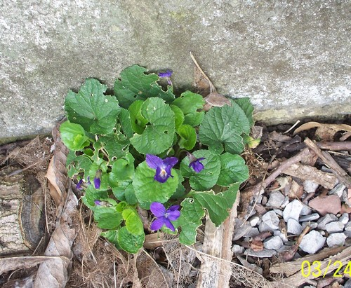 Les violettes - Page 2 Violet10