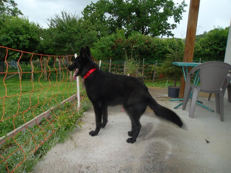 BRUCE, mâle berger noir, né début 2013 Bruce610