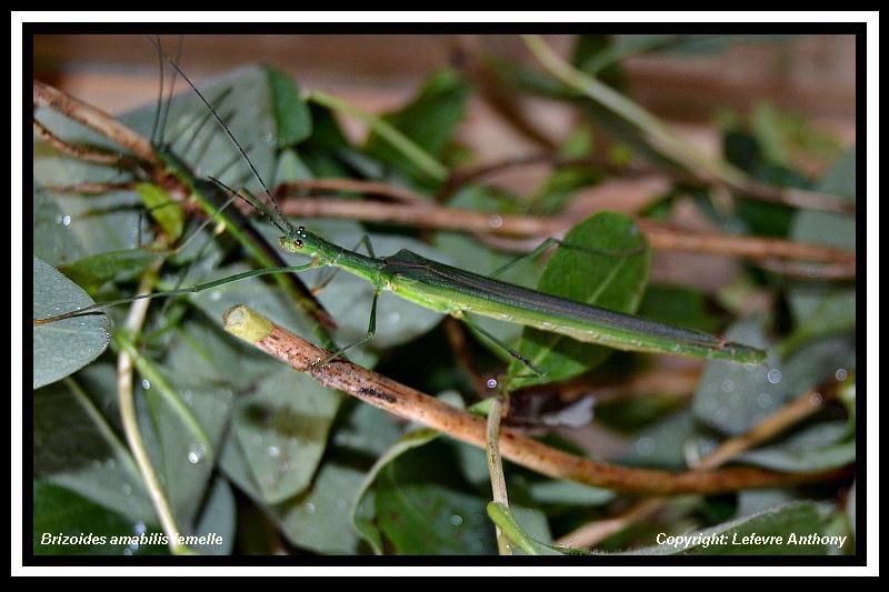 Brizoides amabilis (P.S.G n° 376) Brizoi14
