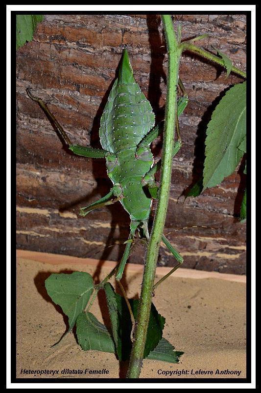 Heteropteryx dilatata (PSG 018) Hetero10