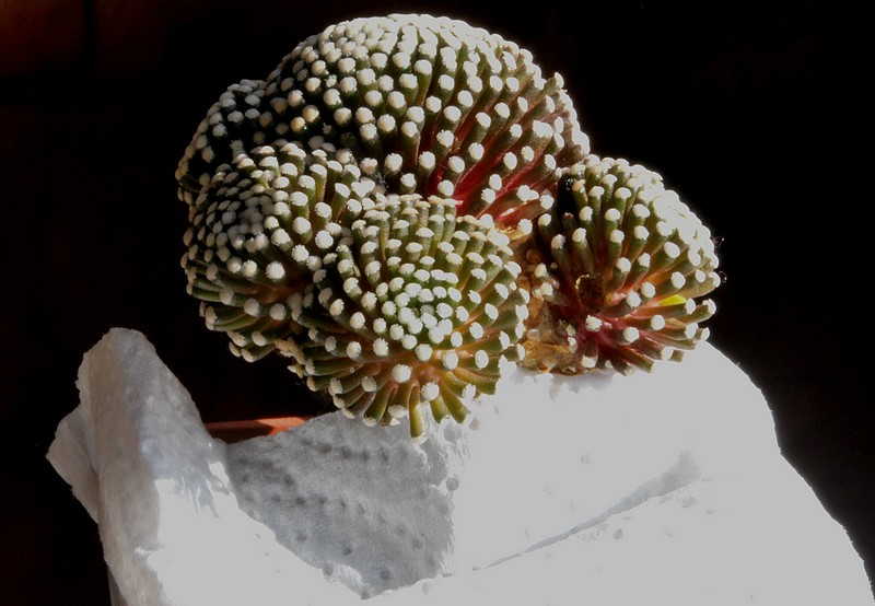 Mammillaria luethyi  Dsc_0016