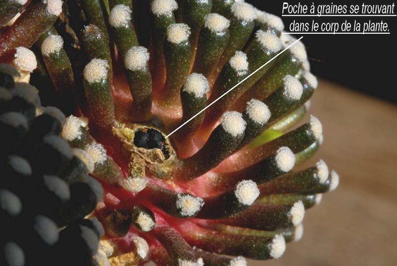 Mammillaria luethyi  Dsc_0017