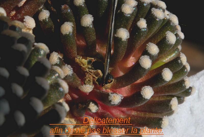 Mammillaria luethyi  Dsc_0019