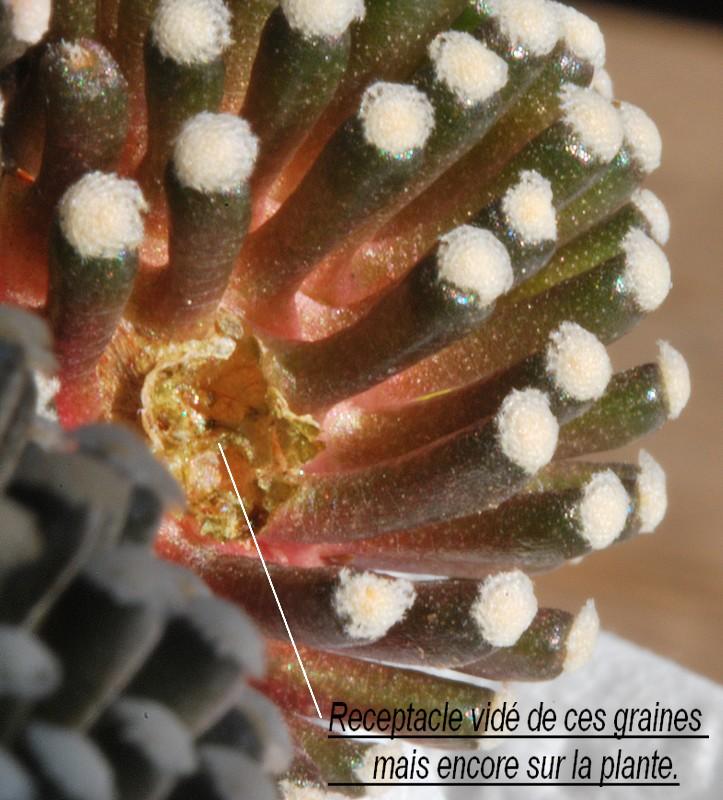 Mammillaria luethyi  Dsc_0020