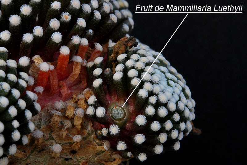 Mammillaria luethyi  Mammil11