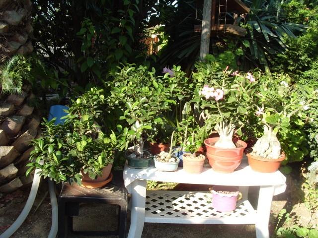 nos bonsaïs et autres ficus S1051418
