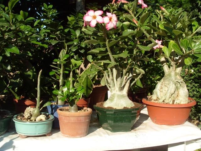 nos bonsaïs et autres ficus S1051419