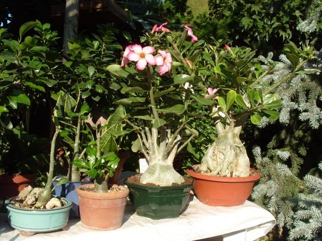 nos bonsaïs et autres ficus S1051420