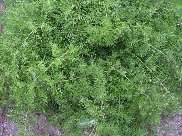 Asparagus S1051422