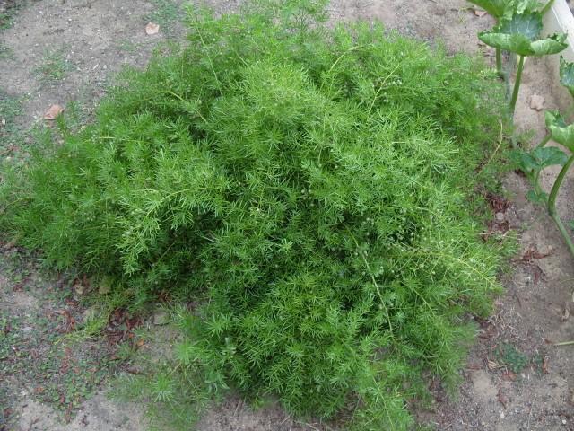 Asparagus S1051423