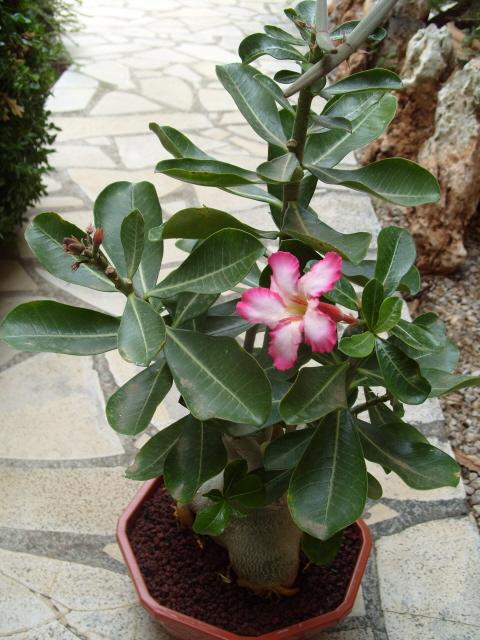 nos bonsaïs et autres ficus S1051568