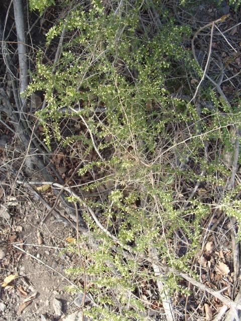 Asparagus S1051647