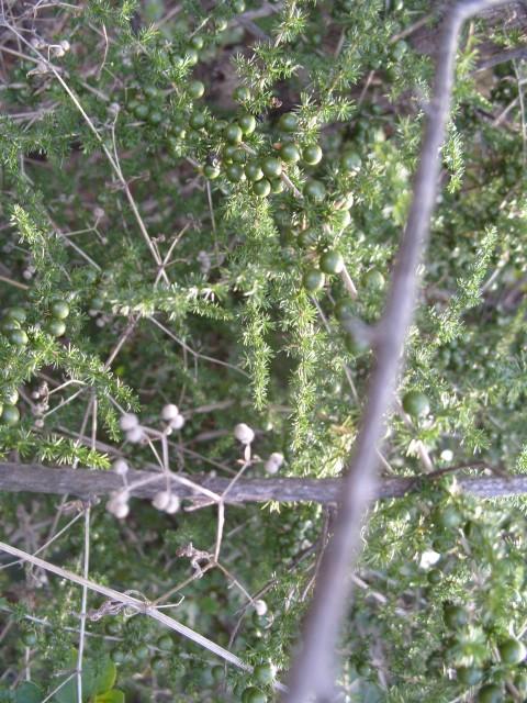 Asparagus S1051648