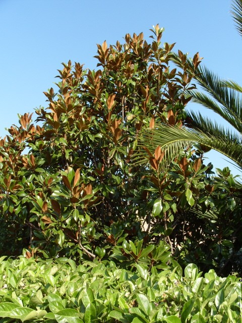 magnolia S1051650