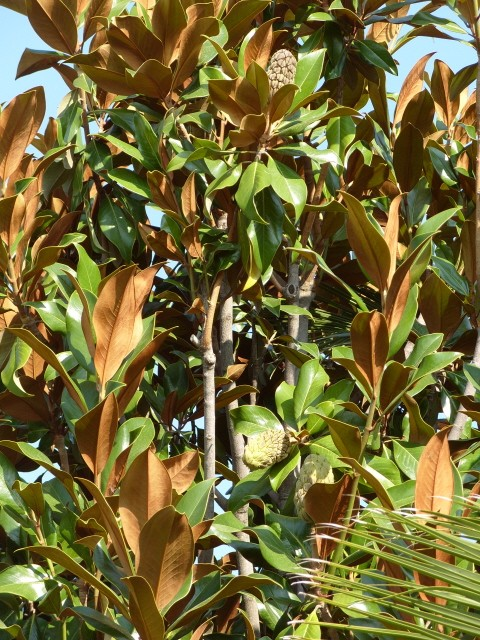 magnolia S1051651