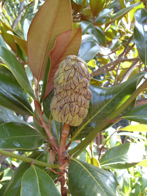 magnolia S1051652
