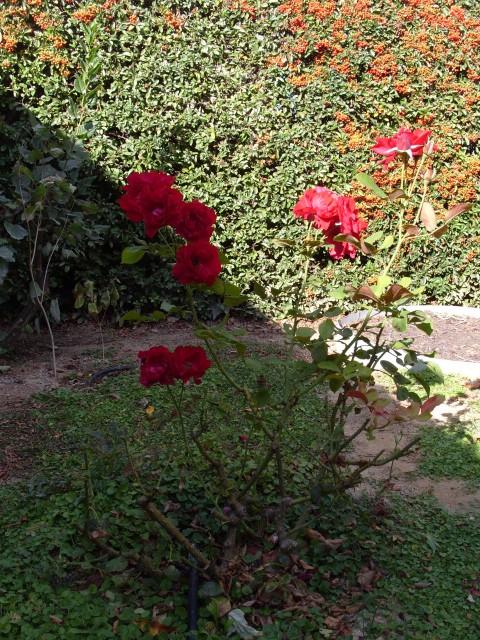 Petit album de roses - Page 2 S1051727
