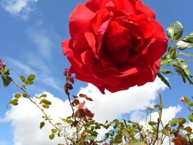 Petit album de roses - Page 2 S1051729