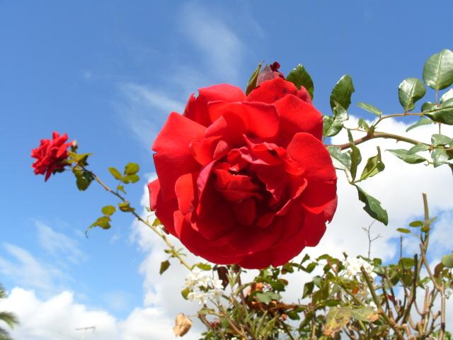 Petit album de roses - Page 2 S1051730