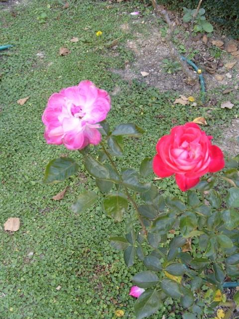 Petit album de roses - Page 2 S1051731