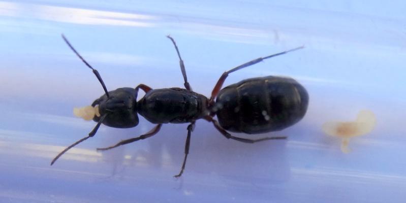 gyne Camponotus ? avec trois oeufs 1-dsc011