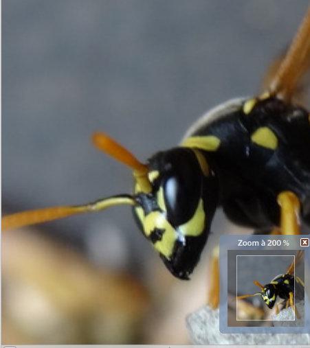 Polistes hôtel à insectes Captur10