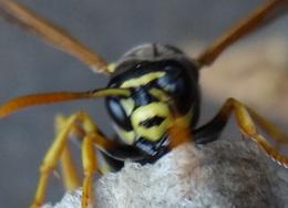 Polistes hôtel à insectes Dsc00216