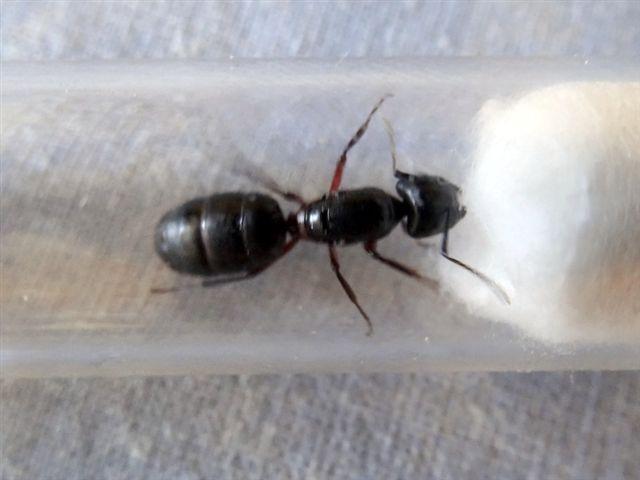gyne Camponotus ? avec trois oeufs Dsc09912