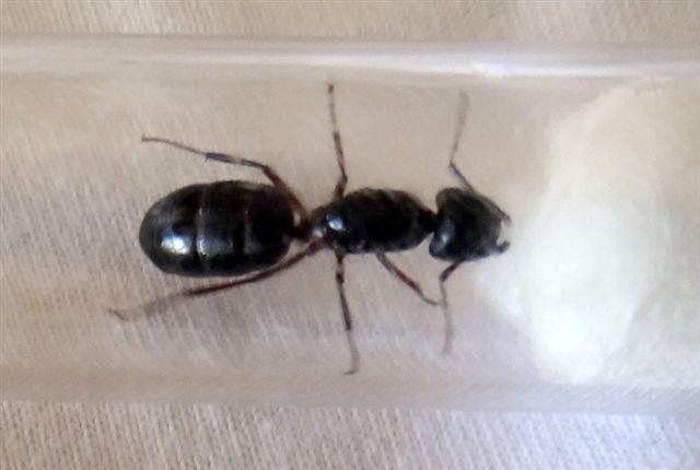 gyne Camponotus ? avec trois oeufs Dsc09913