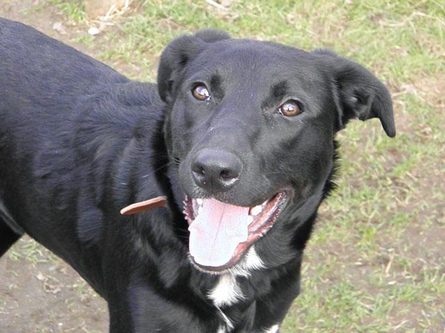 MAX (Labrador noir) Max310