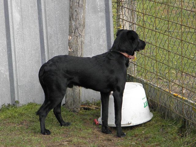 MAX (Labrador noir) Max410