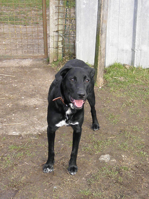 MAX (Labrador noir) Max610