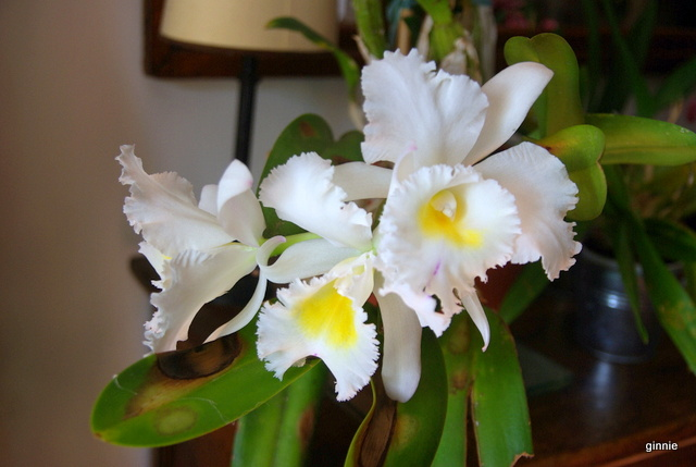 floraisons des orchidées - Page 41 Imgp7510