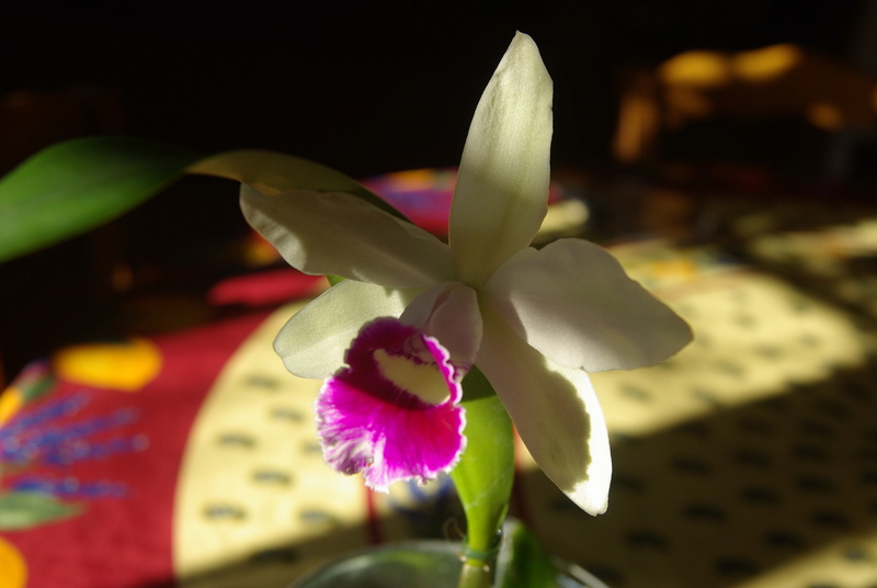 floraisons des orchidées - Page 41 Imgp7519