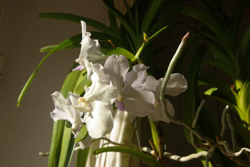 floraisons des orchidées - Page 41 Imgp7521