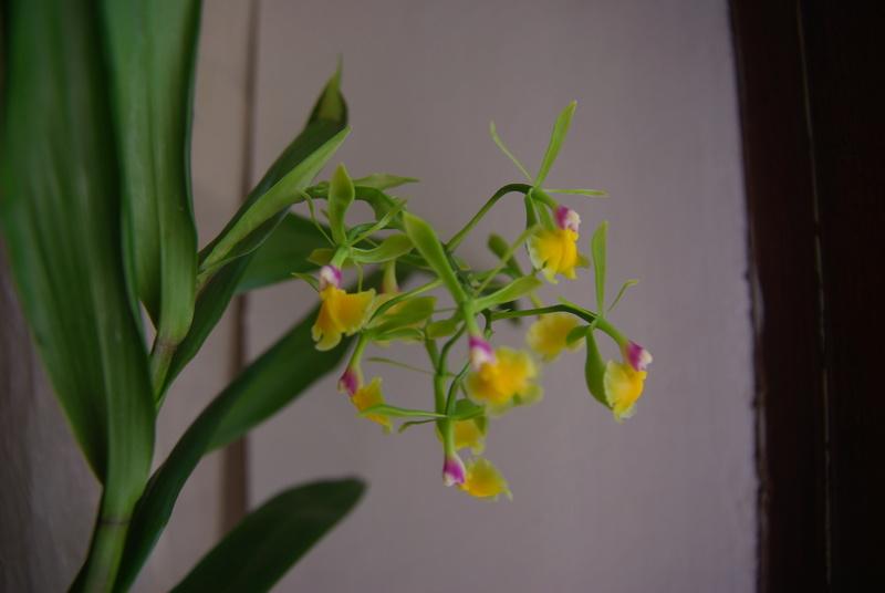 floraisons des orchidées - Page 41 Imgp7525