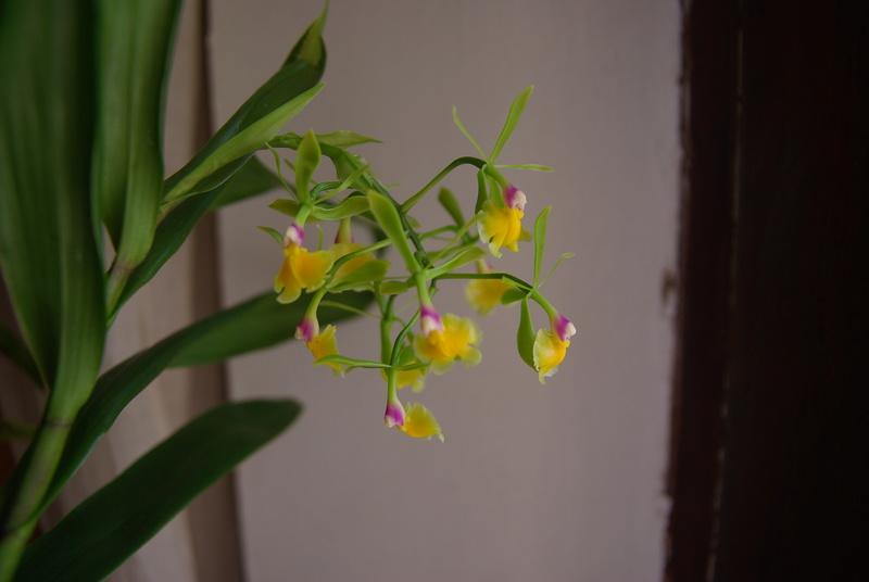 floraisons des orchidées - Page 41 Imgp7526