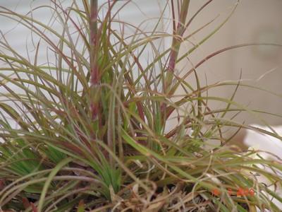 Puya mirabilis Dsc02810