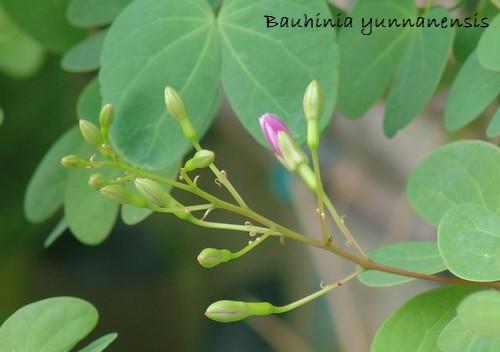 Bauhinia yunnanensis Dsc02824